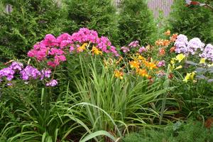 С какими цветами сочетаются лилейники 70
