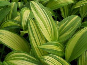 Листья лилейника также могут стать украшением сада