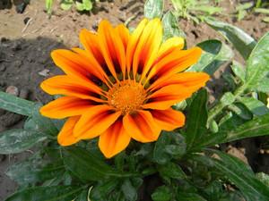 Фото однолетних цветов которые цветут всё лето 8