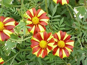 Какие бывают виды цветов однолетников