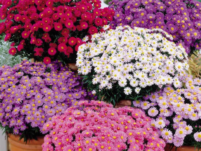 Сорта многолетних цветов фото