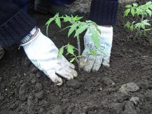 Высаживаем помидоры в грунт