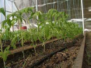 Тепличные условия для выращивания помидор