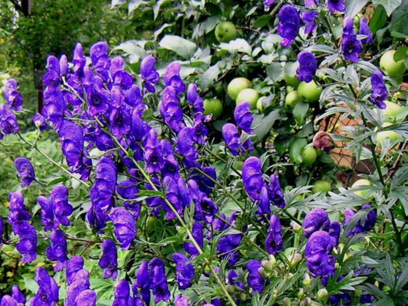 Аконит цветов на клумбе