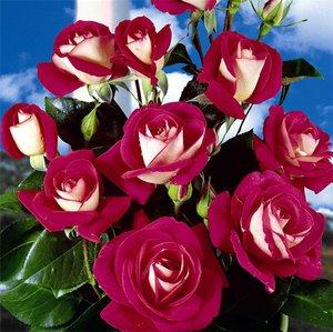 Роза Флорибунда: особенности её посадки и ухода, сорта, советы по выращиванию от опытных садоводов