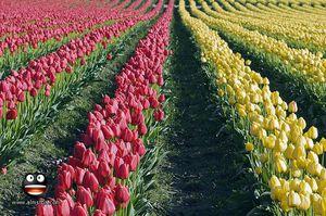 Выращивание тюльпанов в открытом грунте: подготовка почвы и луковиц, особенности ухода после цветения