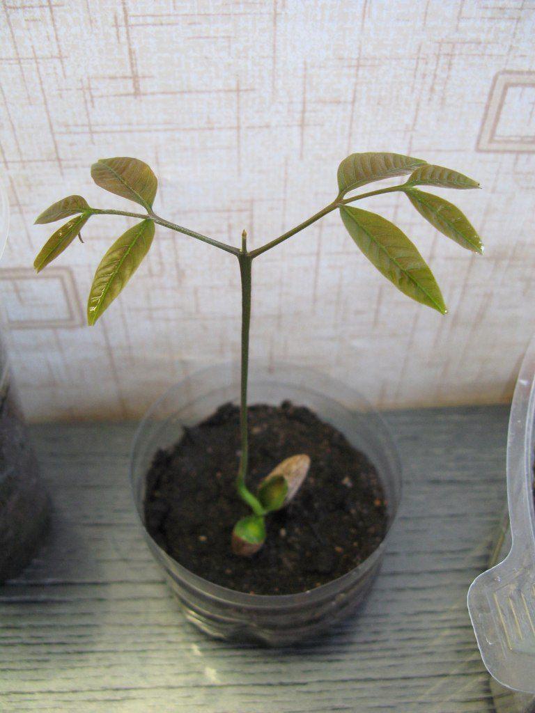 Рамбутан: выращивание из косточки