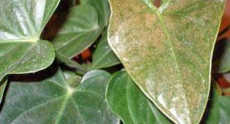 Антуриум, поражённый трипсом